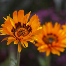 Flower, Orange Daisy