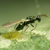 Leafminer Parasite (Miglyphus)