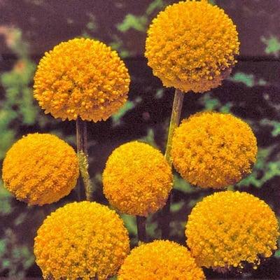 Flower, Drumstick