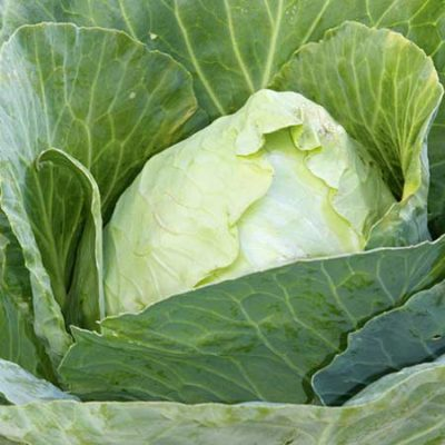 Cabbage, Early Jersey Wakefield