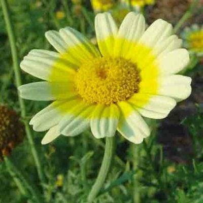 Shungiku, Edible Chrysanthemum