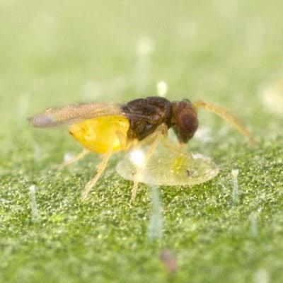 Whitefly Parasites (En-Strip)