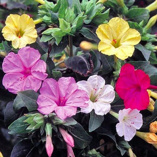 Flower, Four O'Clocks
