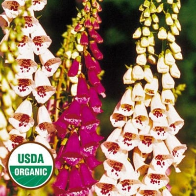 Giant Spotted Foxglove