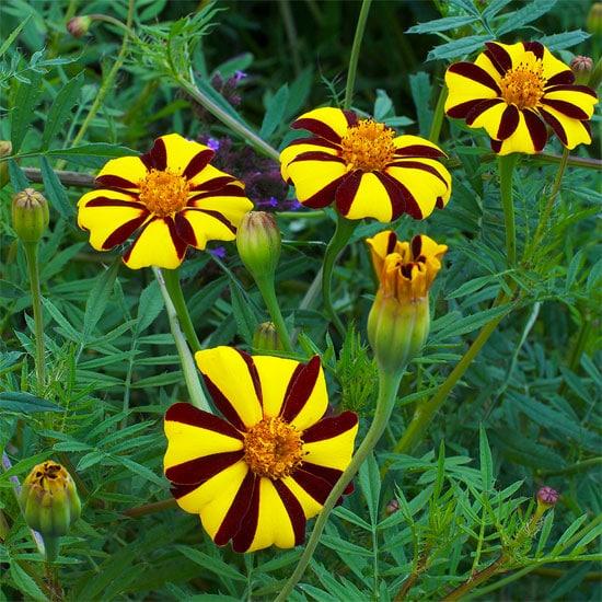 French Marigold Flower Seeds Harlequin Planet Natural