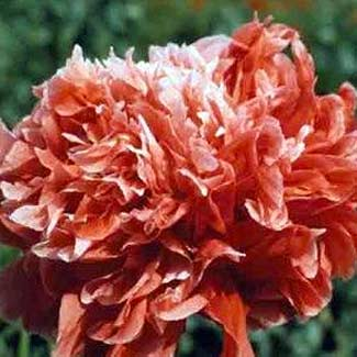 Frosted Salmon Poppy