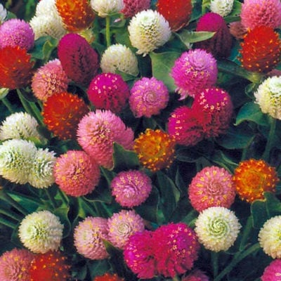 Flower, Globe Amaranth