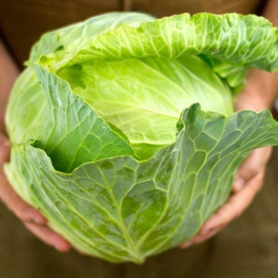 Cabbage, Glory of Enkhuizen