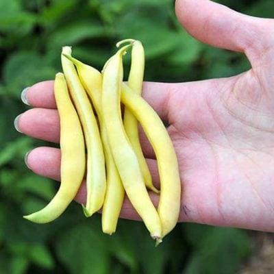 Golden Wax Bean