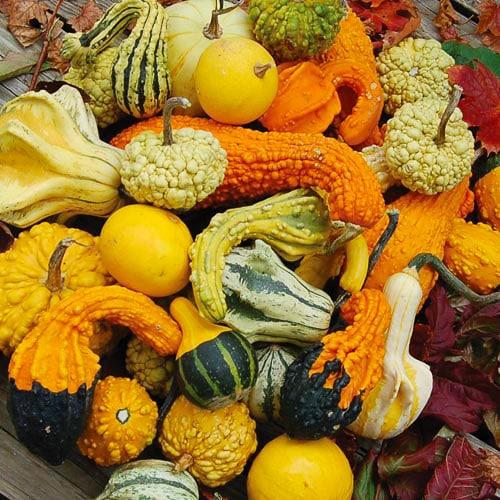 Heirloom Gourd Seeds Planet Natural