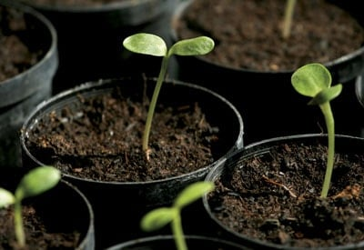 Sunflower Seedlings