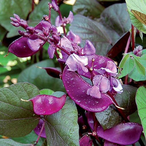 Hyacinth Bean Seeds Ruby Moon Planet Natural