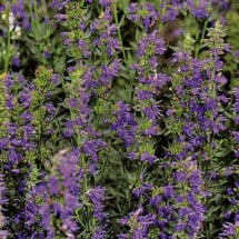 How to Grow Hyssop Planet Natural