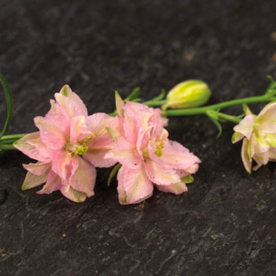 Pink Queen Larkspur