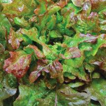 Lettuce, Bronze Arrowhead