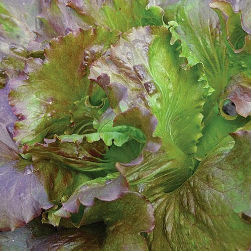Lettuce, Red Iceberg