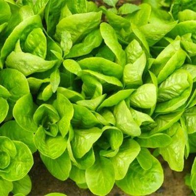 Lettuce, Little Gem