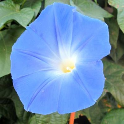 Morning Glory, Clark's Heavenly Blue