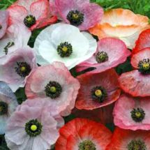 Poppy, Mother of Pearl