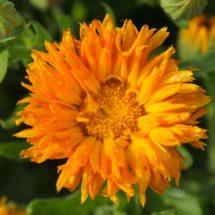 Calendula, Orange Porcupine