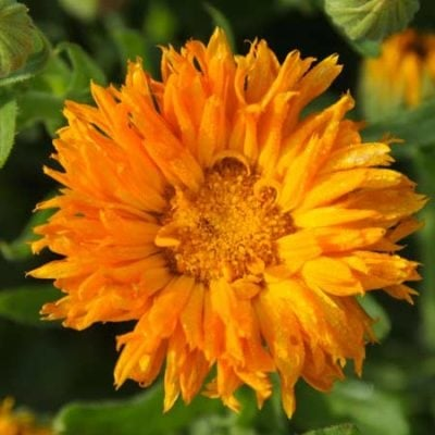 Calendula, Orange Porcupine