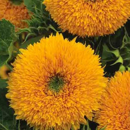 Orange Sun Sunflower