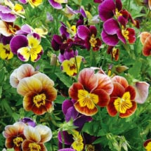 Flower, Historic Pansies Mix