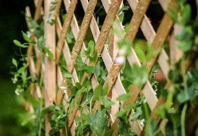 Garden Pea Trellis