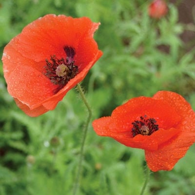 Poppy, Ladybird