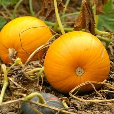 Pumpkin, Cornfield