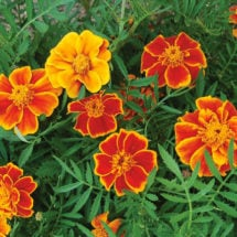Marigold Flower (Red Marietta)