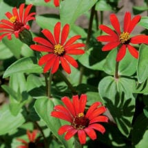 Red Spider Zinnia