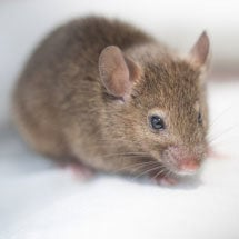 Mice (Rodents)