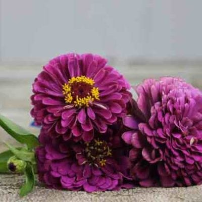 Purple Zinnia Flowers