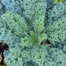 Kale, Blue Curled Scotch