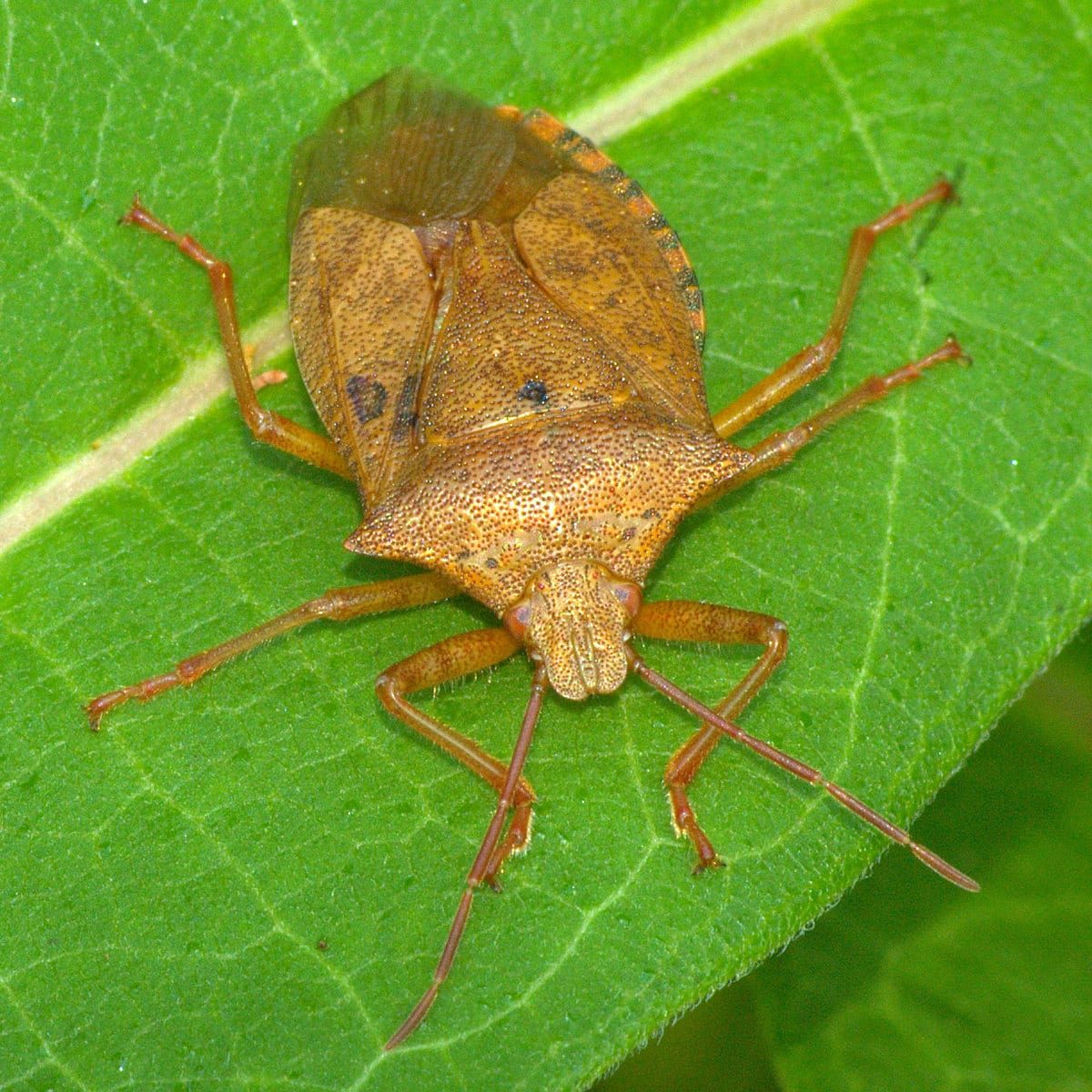 Soldier Bug (Podisus maculiventris)