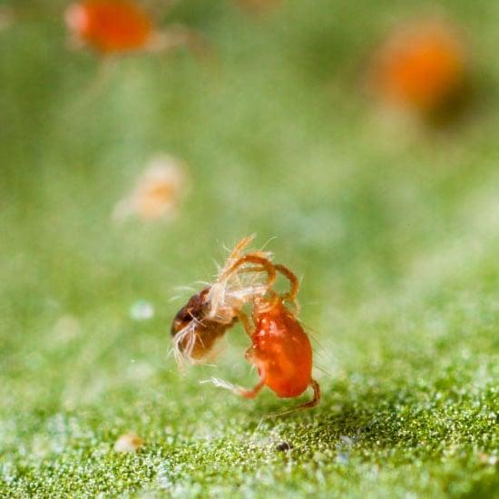 Predatory Mites – Free Shipping | Planet Natural