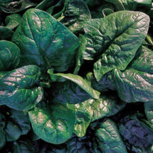Spinach, America
