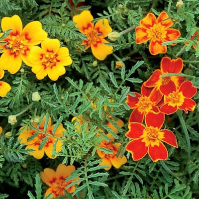 Starfire Signet Flower