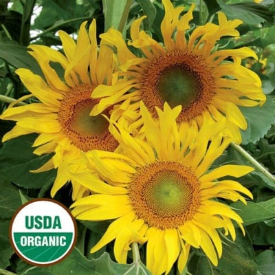 Sunflower, Tarahumara White Seeded