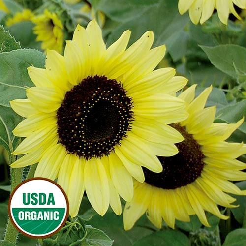 Sunflower, Valentine