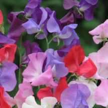 Sweet Pea, Grandiflora Mix