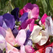 Old Spice Sweet Pea Mix