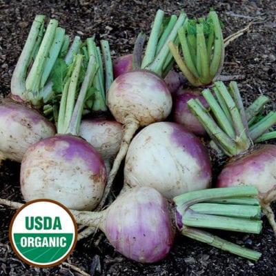 Turnip, Purple Top White Globe