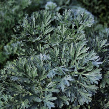 Herb, Wormwood