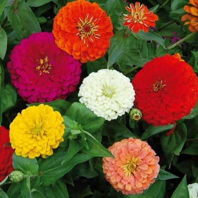 Zinnia, Benary's Giant