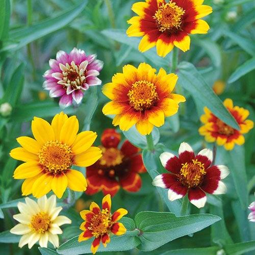 Zinnia Seeds Persian Carpet Planet Natural