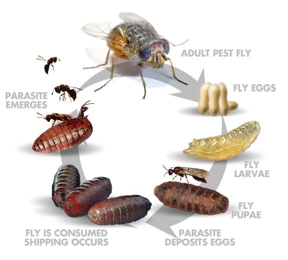 Fly Parasite Life-Cycle