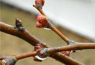 Forcing Blossoms