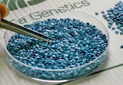 GMO Seed vs Hybrid